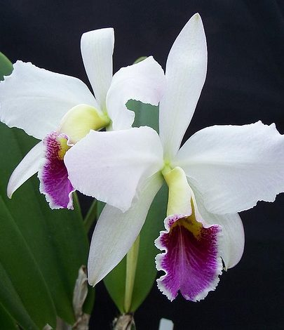 orchid 5